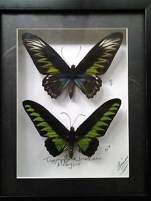 Trogonoptera brookiana A1 PAIR..A Large Male & Female,  from Malaysia..UNMOUNTED