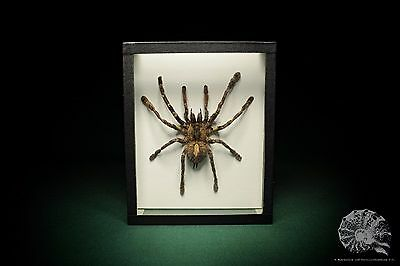 Poecilotheria spec. + Theraphosidae + Ornament Vogelspinne + tiger spider