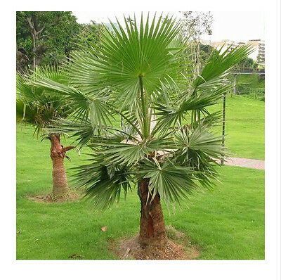 20pcs Outdoor Perennial plant palm tree seeds, tropical ornamental Tree seed