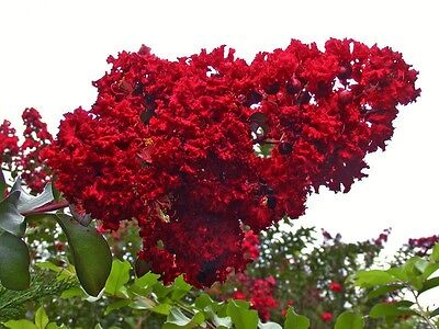 Dynamite Red Crape Myrtle Seeds - The Longest Blooming Tree/Intensive Red