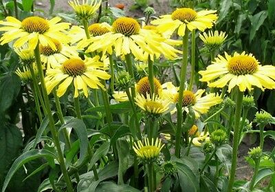 Pack x3 Echinacea (Coneflower) Yellow Skipper XXL Supersize Plug Plants