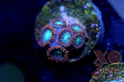 Steal Your Soul Zoas Zoanthids 6 Polyps Soft Coral Frag Zoanthus