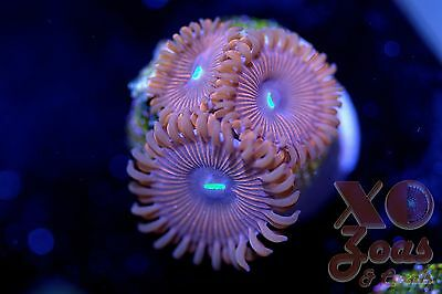 Red People Eater RPE Zoas Zoanthids 3 Polyps Soft Coral Frag Zoanthus