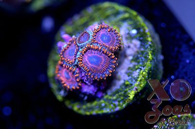 WWC Twizzlers Zoas Zoanthids 5 Polyp Soft Coral Frag High End Zoanthus