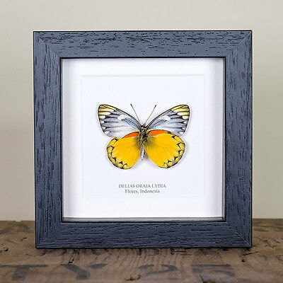 Delias Oraia Lydia Butterfly. Framed butterfly insect taxidermy
