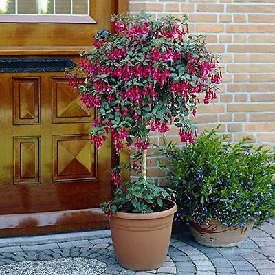 Pair of Potted Fuchsia Trees 90-100cm Tall Color=Pink 3_450009