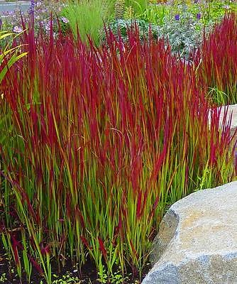 Pack x6 Perennial Grass Imperata Cylindrica 'Red Baron' Large Plug Plants