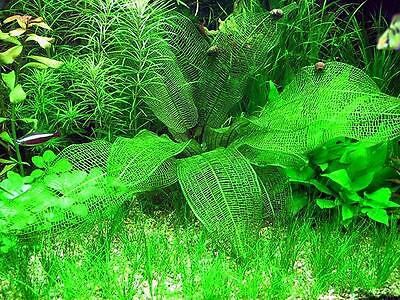 100 APONOGETON MADAGASCARIENSIS SEEDS - Aquarium grass plant Fish Tank Decor