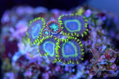 Kowabunga Steal Your Soul Zoas Zoanthids 5 Polyp Soft Coral Frag Zoanthus