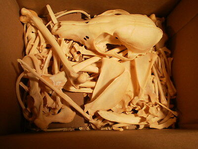 Taxidermy skeleton real red fox disarticulated clean not sorted by bone type
