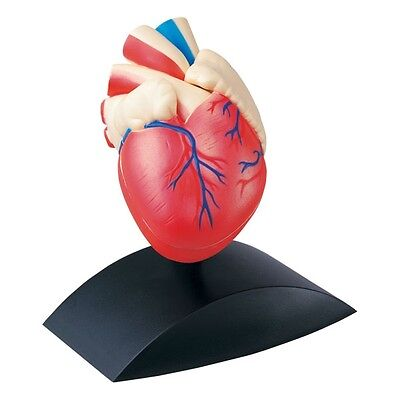 Heart Model 2 Part Anatomical Model