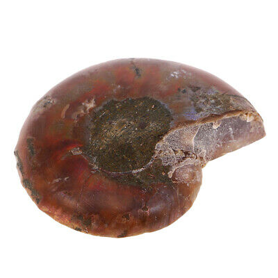 Natural Ammonite Stone Healing Mineral Seashell Conch Animal for DIY Jewelry
