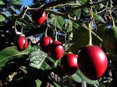 Tamarillo Tree Tomato Seeds -Unique/Fast Growth/FrostOK