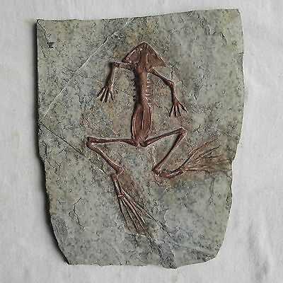 Rare Valuable Miocene Amphibian Frog Fossil With Whole Skeleton Skull Fossil
