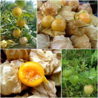 60pcs Cape Gooseberries Physalis Peruviana Giant Poha Berry Ground Cherry Seeds