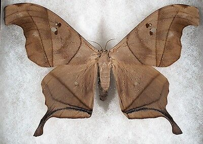 Insect/Moth/ moth ssp. - Male 5""