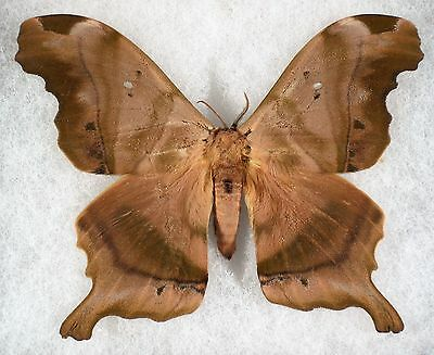 Insect/Moth/ Moth ssp. - Male 4 1/4""