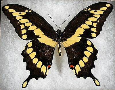Insect/Butterfly/ Papilio cresphontes pensalvanicus - Male 4""