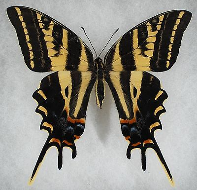 Insect/Butterfly/ Papilio pilumnus - Female 4""