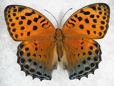 """Insect/Butterfly/ Butterfly ssp. - Female 3.5"""" Type II"""