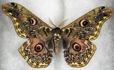 """Insect/Moth/ Moth ssp. - Male 3.5"""""""
