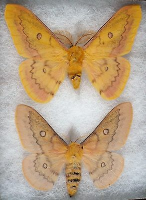 Insect/Moth/ Moth ssp. - Pair 3""