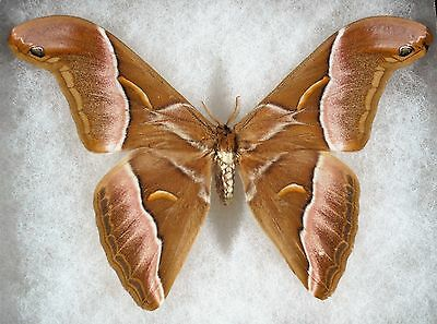 """Insect/Moth/ Samia luzonica - Male 5"""""""
