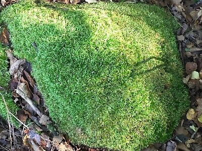 Live Sheet Moss, Natural and Organic from Wisconsin, Approximately 300 sq inches