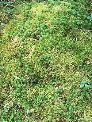Live Moss, organic, very thick, 4 1/2 inches.  Diameter is approx. 17 inches