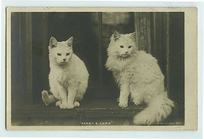 c 1908 British Edwardian WHITE CATS Darby and Joan photo postcard