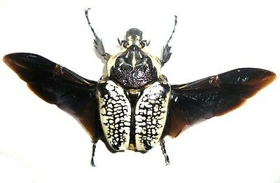 Taxidermy - real papered insects : Cetonidae : Goliathus orientalis fem. SPREAD