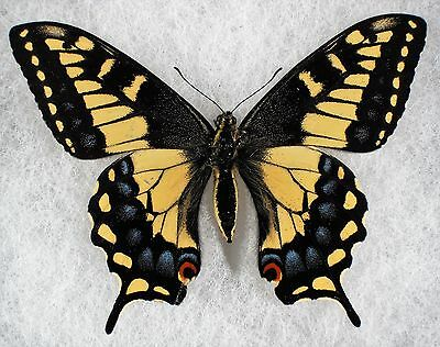 "Insect/Butterfly/ Papilio machaon brucei - Female 3 1/4"" Aberration"