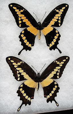 Insect/Butterfly/ Papilio thoas ssp. - Pair 4""