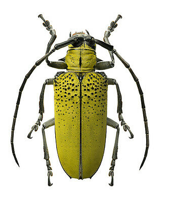 Taxidermy - real papered insects : Cerambycidae : Celosterna polinosa sulphurea