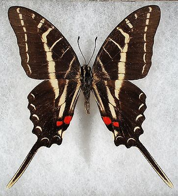 """Insect/Butterfly/ Eurytides philolaus - Male 2.5"""""""