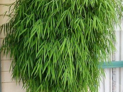 Himalayan weeping bamboo 10 plants in 75mm pots