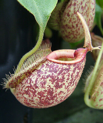 Nepenthes hookeriana - carnivorous plants - 10 plants well established in plugs
