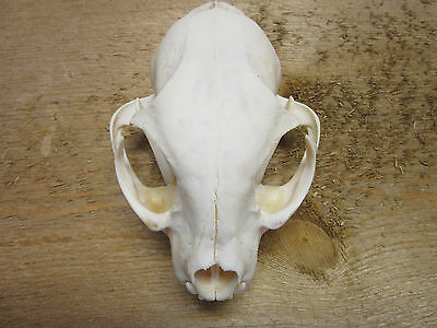 1 XL #1 Nice MT Bobcat Skull with lower jaw & all teeth cleaned by trapper,