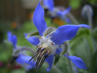 25 Graines BIO de bourrache officinale bleue - borago officinalis - biologique