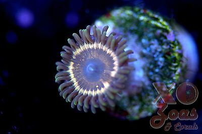 Vampire Palythoa Zoas Zoanthids 1 Polyp Soft Coral Frag High End