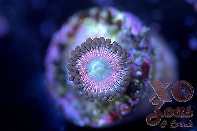 PZ Candy Apple Pink Palythoa Zoas Zoanthids 1 Polyp Soft Coral Frag Zoanthus