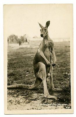 vintage real photo postcard male Great Grey Kangaroo Koala Park N.S.W. Australia
