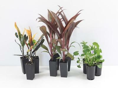 Tropical Foliage Pack Cordyline Croton Rhoeo Mix Exotic Colourful10 Plants $6...
