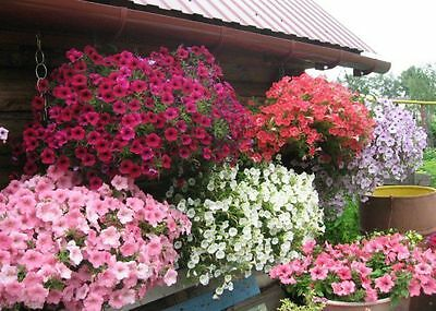 Petunia Cascade Fortune F1 MIX Flower Seeds