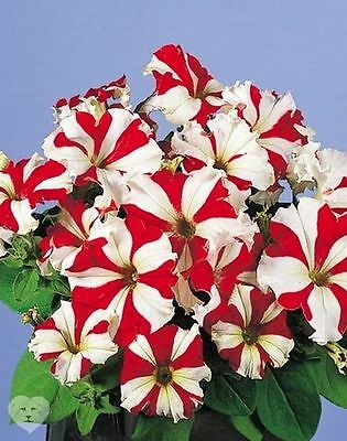 Petunia hybrida Stellaris F1 Flower Seeds from Ukraine