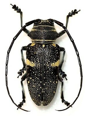 Taxidermy - real papered insects : Cerambycidae : Zographus aulica PAIR