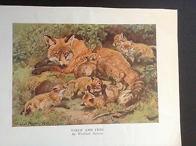 Colour print by Winifred Austen of fox vixen & cubs - over 100 yrs old