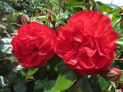 MISS SCARLET - 5.5lt Potted Climbing Garden Rose - Deep Red - Repeat Flowering