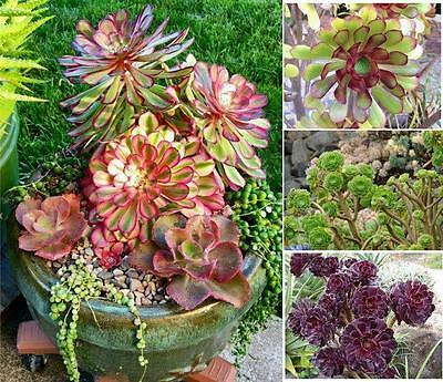 Aeonium Mixed Varieties 20 Seeds