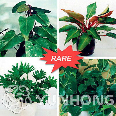 100pc mix Philodendron seeds, vine leaf, indoor plants Anti Radiation Absorb